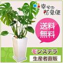 観葉植物 モンステラ7号角高陶器鉢(白) 高さ約85cm【大型 開店祝...