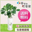 観葉植物 モンステラ7号穴高陶器鉢(白) 高さ約90cm【大型 開店祝...