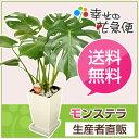 観葉植物 モンステラ6号角プラスチック鉢(白) 高さ約60cm【開店祝...