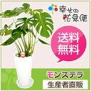 観葉植物 モンステラ7号陶器鉢L(白) 高さ約80cm【大型 開店祝い...