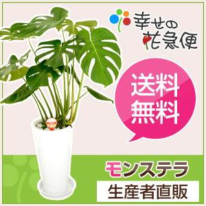 ☆送料無料&即日発送☆切れ込みの葉が素敵な、今人気のモダンなインテリア観葉植物モンステラ。...