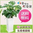 観葉植物 モンステラ8号角高陶器鉢(白)高さ約95cm【大型 開店祝い...