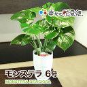 観葉植物 モンステラ6号選べる鉢 |高さ約60cm【開店祝い...
