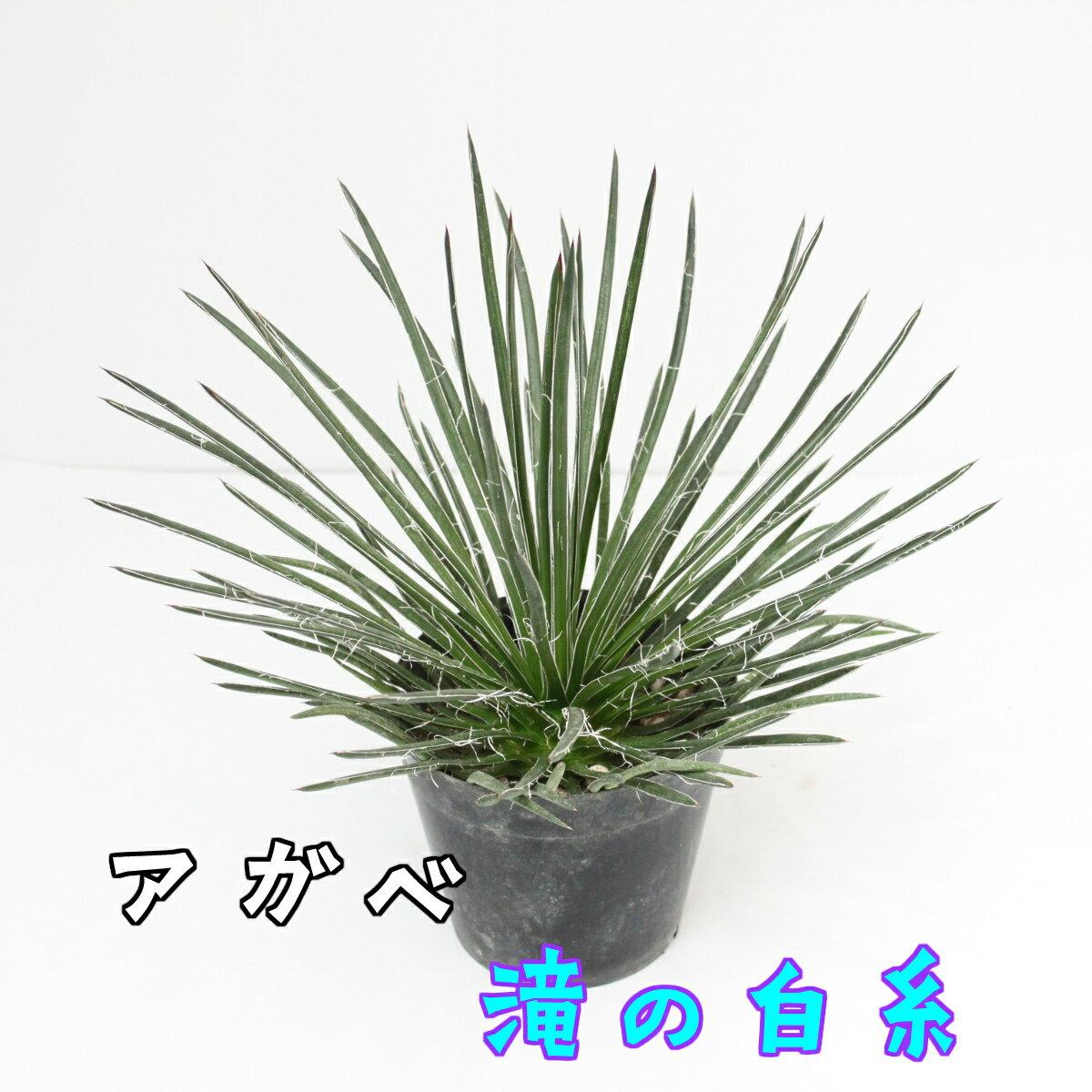 アガベ 滝の白糸ゲミニフローラ5号鉢