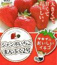 ジャンボいちごまんぷく2号3.5号ポット1苗タキイ種苗【イチゴ苗】
