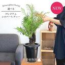 【現品】ブレクナム・シルバーレディー 7号【選べる観葉植物】【観葉植物 植物 インテリア おしゃれ 人気 引越し祝い 開店祝い 新築祝い お祝い 楽天 通販 観葉 ギフト プレゼント】