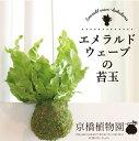 エメラルドウェーブの苔玉【観葉植物 インテリア おしゃれ 人気 楽天 通販 育てやすい 大型 ...