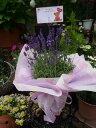 母の日 送料無料  さわやかな香り 涼しげなラベンダー鉢植え