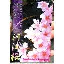 送料無料 河津桜の苗木(接木) 記念樹や庭木におすすめ!濃いピンク色の花が特徴、早咲きの桜