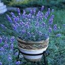 送料無料 北海道のラベンダー苗 3個セット バイオレットメモリー 花穂が長い 香りが良い 9cmポット ハーブ