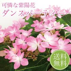 母の日 花 ギフト 2016年 アジサイ 4号鉢 ダンスパーティー ピンク あじさい 紫陽花