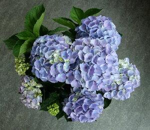 茨城ひぬま・アンティークカラーシリーズ秋色になり始めた、青い西安♪色変わりを楽しむ秋色あ...