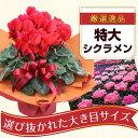 シクラメン 鉢 6号 花 フラワー ギフト クリスマスプレゼント お歳暮 【送料無料】