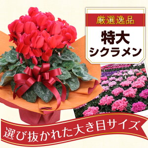 シクラメン6号鉢お歳暮ウィンターギフトクリスマスプレゼント誕生日祝いプレゼント花選べる4種フラワーギフト花キューピット加盟店早割
