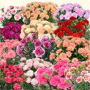 母の日ギフト カーネーション 花 プレゼント 5号鉢 お花 生花 母の日カーネーション 鉢 鉢植え プレゼント ギフト 母の日 母の日花