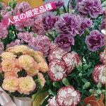 【2013母の日】カーネーション<キャミ>5号鉢【送料無料】【沖縄・離島はお届けできません】【同梱不可】