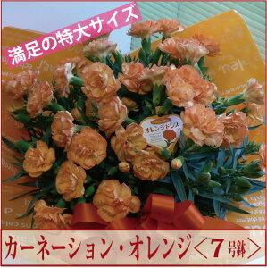 カーネーション7号鉢オレンジドレス<オレンジ>【送料無料】【2015 母の日】【沖縄・離島はお届けできません】【同梱不可】05P01Mar1