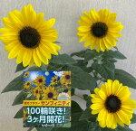 ひまわり鉢<サンフィニティ・6号鉢>『100輪咲く!?期待の最新品種ひまわり。つぼみ多めです。6/12入荷』ヒマワリフラワーギフト父の日【沖縄・離島はお届けできません】