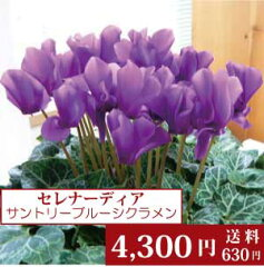 香りも楽しめる一重咲セレナーディア・アロマブルー・サントリーの青いシクラメン・5号鉢 <ラ...