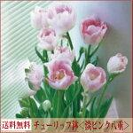 【送料無料】チューリップ【ピンク八重アンジェリッケ】【6号鉢】【フェスティバル0208×10】