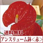 アンスリューム・赤系<白プラ鉢>【あす楽対応】【送料無料】