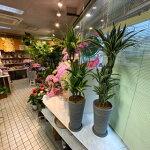 ワーネッキーレモンライムホワイトストライプ観葉植物高さ120cm幅40cm鉢高さ38cm7号鉢(直径21cm)【2020/5/20撮影】『世田谷市場よりスタイリッシュな植物器もお洒落な美品』【あす楽】