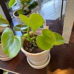 フィロデンドロン・グラジエラエ<2株植え>全体高さ22cm<鉢高さ12.5cm幅13cm>『陶器鉢に植え替えた可愛らし室内向き観葉植物。レアな品種』【あす楽】【ギフト】【フィロデンドロンハート】【沖縄・離島はお届けできません】【観葉植物】