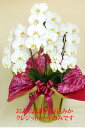 胡蝶蘭 3本立ち 大輪 お花とツボミ含む 27輪 カード立札・ギフト梱包