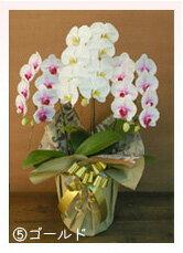 胡蝶蘭3本立ち大輪お花とツボミ含む27輪カード立札・ギフト梱包