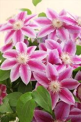 母の日花クレマチス