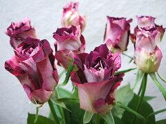"""バラ""""かおり""""1本100円70cm滋賀県産注意!10本単位販売複色華やかな香りがします"""