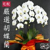 大輪 胡蝶蘭 3本立ち 27輪以上 白い鉢花 送料無料【あす楽対応】【楽ギフ_メッセ入力】【ビジネス 即日】【楽ギフ_包装】