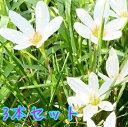タマスダレ / 9cmポット 【3本セット】 【T1送料無料