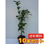 チャノキ【10本セット】樹高0.3m前後10.5cmポット【送料無料】茶の木/