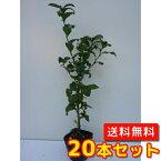 チャノキ【20本セット】樹高0.3m前後10.5cmポット【送料無料】茶の木/