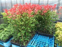 新芽が伸びない冬期は新芽の色は赤くありません、3月下旬から真っ赤な新芽が出ますので楽しみにしてください。