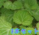 ユキノシタ / 9cmポット 【3本セット】 【T1送料無料...