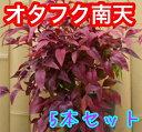 オタフクナンテン 樹高0.25m前後 15cmポット 【5本