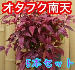 【送料無料】オタフクナンテン(お多福南天)20本セット