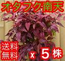 オタフクナンテン 【5本セット】 樹高0.25m前後 15c