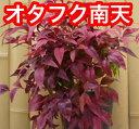 オタフクナンテン 樹高0.25m前後 13.5cmポット 【