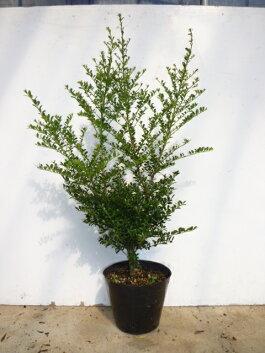 キンメツゲ(金芽ツゲ)優良品生垣樹高50cm以上5号ポット