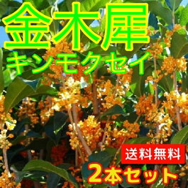 キンモクセイ樹高1.5m前後(根鉢含まず)【送料無料】2本セット