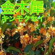 キンモクセイ / 樹高0.8m前後 15cmポット / 秋に花を咲かせ優しい香りが特徴生垣用 金木犀