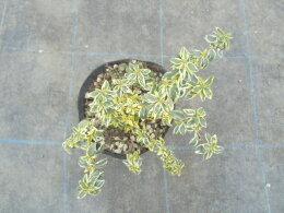 アベリア・ホープレイズ樹高0.1m前後12〜15cmポット//斑入りアベリアホープレイズ