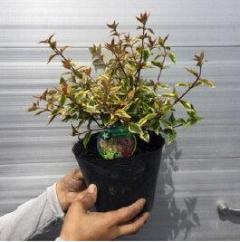 アベリアカレイドスコープ(あべっりあかれいどすこーぷ)アベリアグランディフローラ15cmポット