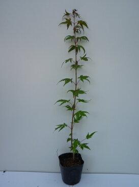 イロハモミジ/樹高1.0m前後12cmポット/秋の紅葉がきれいです。/