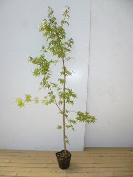 【店頭受取専用品】イロハモミジ/樹高1.5m前後18cmポット/秋の紅葉がきれいです。/