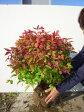 オタフクナンテン・大株 / 樹高0.4m前後 根巻き / 特大株お多福南天おたふくなんてん五色ナンテン 冬は紅葉します