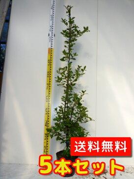 ウバメガシ【5本セット】樹高1.2m前後18cmポット【M送料無料】生垣/